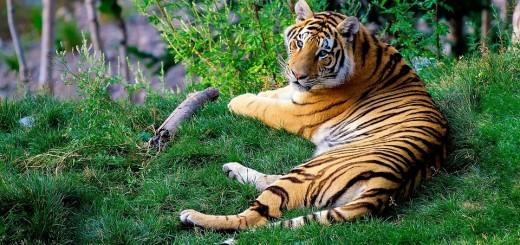 bengal-tiger-1149535_960_720